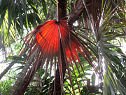 Rosie Brown - Red Palm