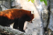 Red Panda - National Zoo - 01139 Print by DC Photographer