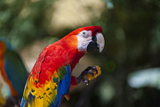 Tropical Rainforest Art - Red parrot  by Garry Gay
