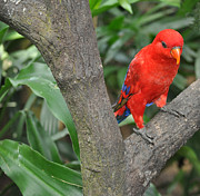 Fauna Originals - Red Parrot by Judith Russell-Tooth