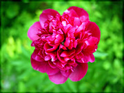 Featured Art - Red Peony Flower by Edward Fielding