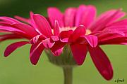 Signed Photos - Red pink daisy by Carol Lynch