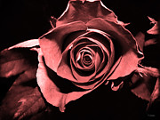 Ym_art Prints - Red Pink Rose  Print by Yvon -aka- Yanieck  Mariani