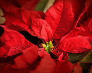 Jai Johnson - Red Poinsettia 2