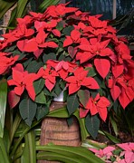 Kathleen Struckle - Red Poinsettia