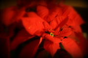 Kay Novy - Red Poinsettia