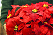 Diana Haronis - Red Poinsettias