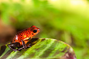 Red Pyrography Originals - Red Poison Dart Frog by Dirk Ercken