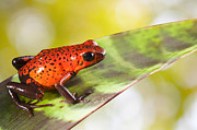 Guyana Prints - Red Poison Frog Print by Dirk Ercken