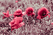 Decorativ Photo Metal Prints - red poppies II Metal Print by Hannes Cmarits