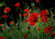 Nava Jo Thompson Prints - Red Poppies Print by Nava Jo Thompson