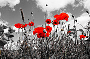 Dany  Lison - Red Poppies on black and...