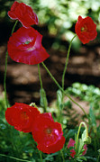 Robert Lozen Metal Prints - Red Poppies Metal Print by Robert Lozen