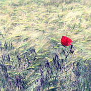 Floral Photography Prints - Red Poppy 2 Print by Kristin Kreet