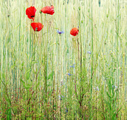 Art In Nature Art - Red Poppy 3 by Kristin Kreet