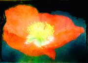 Aeve Pomeroy - Red Poppy