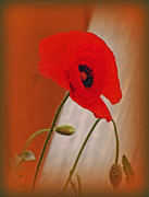 Kay Novy Posters - Red Poppy And Buds Poster by Kay Novy