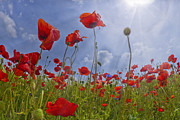 Fisheye Posters - Red Poppy and Sunrays Poster by Melanie Viola