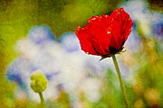 Flower Photograph Prints - Red Poppy Print by Bonnie Bruno