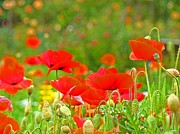 Flora Framed Prints Photos - Red Poppy Flowers Meadow Art Prints by Baslee Troutman Nature Photography Art Prints