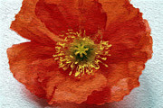 Hotel-room Mixed Media Prints - Red Poppy Print by Linda Woods