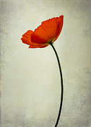 Lotte Funch - Red poppy