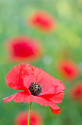 Poppies Photos - Red Poppy by Oscar Gutierrez