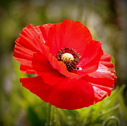 Rosanne Jordan - Red Poppy Power