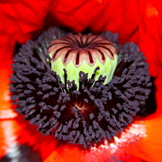 Stamens Art - Red Poppy Purple Magic by Karon Melillo DeVega