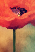 Nature Study Posters - Red Poppy Poster by Rosie Nixon