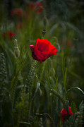 Fresh Green Posters - Red Poppy Poster by Svetlana Sewell