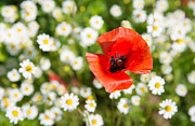 Sommer Prints - Red poppy with daisies on flower meadow Print by Matthias Hauser