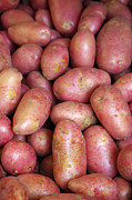 Farm Photo Metal Prints - Red Potatoes Metal Print by Carlos Caetano