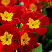 Primroses Photo Metal Prints - Red Primroses Metal Print by Art Block Collections