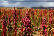 Latin America Photos - Red Quinoa by James Brunker