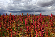 James Brunker Metal Prints - Red Quinoa Stormy Skies Metal Print by James Brunker