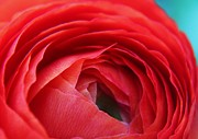 Carol Welsh - Red Ranunculus Flower
