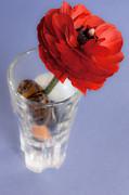 Red Ranunculus Print by Iryna Soltyska