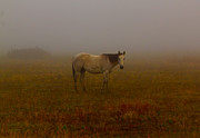 Cattle Posters - Red Roan In Fog Poster by Robert Frederick