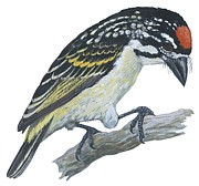 Medicine Painting Prints - Red ronted tinkerbird Print by Anonymous