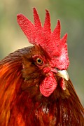 Adam Jewell - Red Rooster