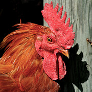 Rooster Photos - Red Rooster by Art Block Collections