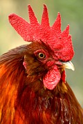 Adam Jewell - Red Rooster Portrait