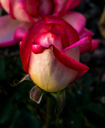 Rose Flower Greeting Cards Photos - Red Rose Bud by Robert Bales