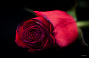Gardens And Flowers - Red Rose by Crystal Wightman