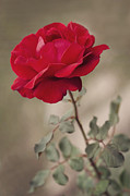 Rose Flower Posters - Red rose Poster by Diana Kraleva
