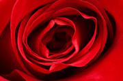 Rose Macro Prints - Red rose  Print by Fabrizio Troiani