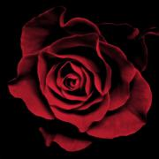 Red Art Posters - Red Rose II Poster by Artecco Fine Art Photography - Photograph by Nadja Drieling