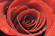 Valentines Day Posters - Red Rose Poster by Lars Ruecker