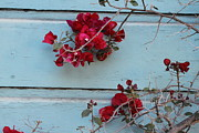Claudia Stewart - Red Rose Old Siding